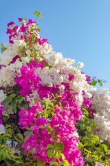 Beautiful big bougainvilleas branches full with pink and white blooming flowers against a nice blue gradient sky background, medium depth of field shot.