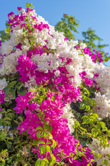 Beautiful big bougainvilleas branches full with pink and white blooming flowers against a nice blue gradient sky background.