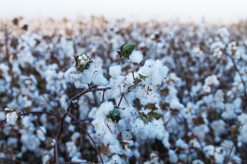 Cotton on the plant ready to be harvested .