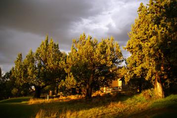 Juniper trees before thunderstorm