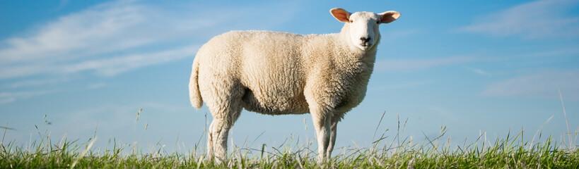 Junges Schaf steht auf einem Deich, Banner