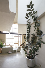 a large rubber plant in a design house
