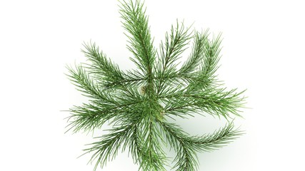 Conifer Leaf