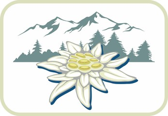 Blooming edelweiss flower. Symbol of Alp mountains. Beautiful postcard. Badge. Leontopodium alpinum.