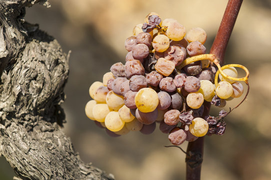 Noble rot of a wine grape, grapes with mold, Botrytis