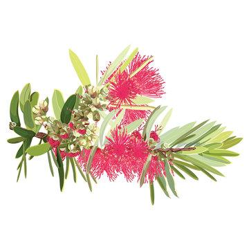 Branches of Bottlebrush Tree Flowers Vector Illustration