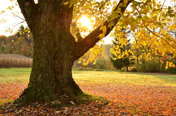 Sunrise behind large old tree with leaves scattered on the ground underneath