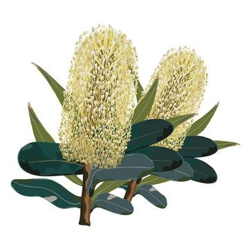 Australian yellow banksia flowers Vector