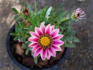 White Pink Gazania Flowers