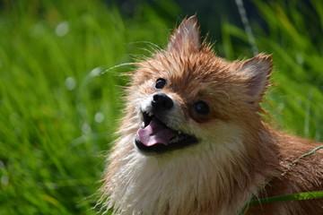 Türaufkleber Hund Dwerg Kees Hond