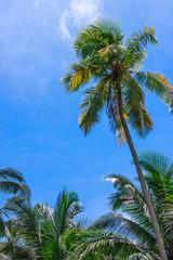 Coconut tree under blue sky and bright sun