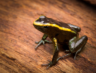 poisonous frog Phyllobates aurotaenia from the tropical Amazon rain forest of Colombia, a poisonous animal