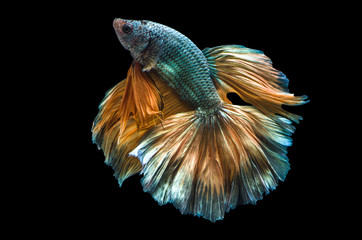 Rhythmic of Betta fish, siamese fighting fish,isolated on black