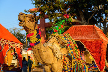 Decorated camel at Pushkar Fair