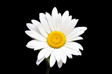 Camomile, white daisy flower isolated on black