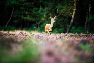 Solitary red deer doe in heath field near forest. National Park
