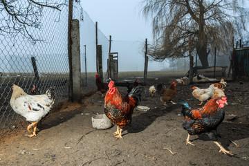 Петухи и куры на домашнем подворье