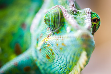 Chameleon Macro Reptile 4