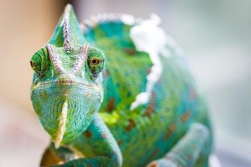 Deurstickers Kameleon Chameleon Macro Reptile 2 (Eyes Crooked)