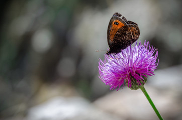 orange and black butterfly on a purple flower  with plain background