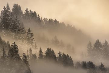 Pine forest in fog at sunrise, Bolzano, Italy