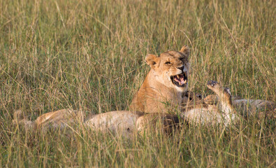 A pride of lions lying in tall grass with one lioness snarling with bared teeth at another lion. Photographed in natural light in Kenya Africa.