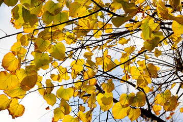 Fall and Yellow Leaves
