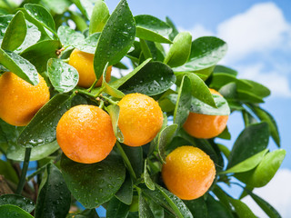Ripe tangerine fruits on the tree.