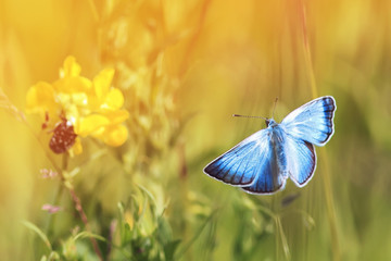 beautiful blue butterfly flying in a Sunny meadow on a summer day