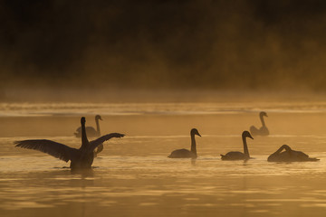Poster Swan wilde zwaan in biesbosch
