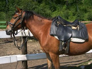 Stallion under saddle. Summer. Baikal