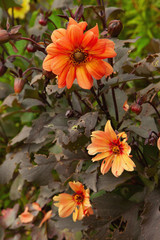 dahlia georgin on background green grass, orange color