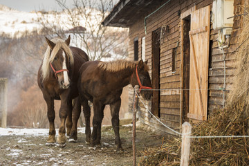 Horses in front of there house in winter time