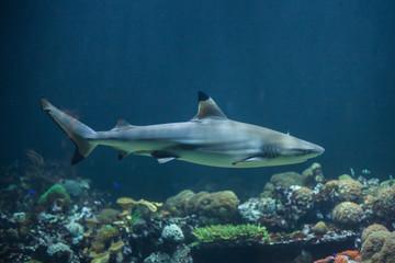 Blacktip reef shark (Carcharhinus melanopterus)