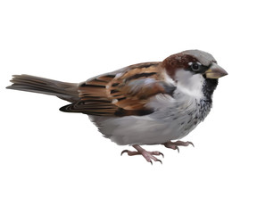 Sparrow - Passer domesticus.