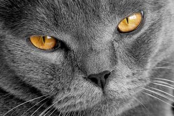 Photo of gray cat yellow eyes