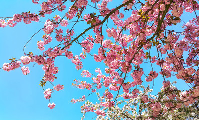 Beautiful flowers of japanese cherry blossom