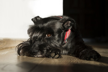 Schnauzer dog lay down on floor looking at the camera