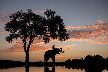 Silhouette Sunset Sunrise action of Thai Elephant in Surin provi