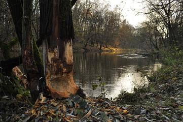 Bobry, drzewo
