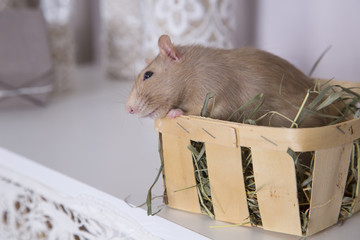 decorative rat in the box