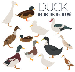 Poultry farming. Duck breeds icon set. Flat design