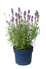 Canvas Prints Lavender Pot de lavande