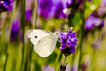 Papillon blanc sur lavande