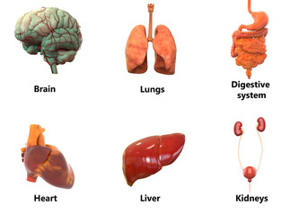Human Body Organs Anatomy (Brain, Lungs, Digestive System, Heart, Liver with Kidneys)
