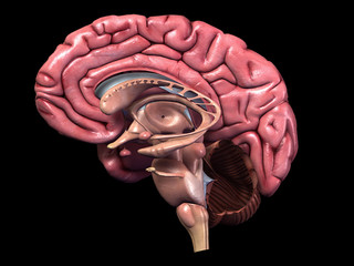 Sagittal Section of Parts of Human Brain