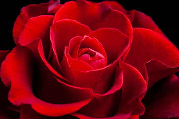 Amazing red rose, floral wallpaper