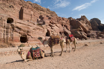 Camels used for transportation takes a rest