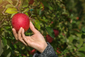 Apple Picking in Apple Orchard by Hand, Organic Apple and Fresh from Farm Concept or Apple Orchard Tour concept