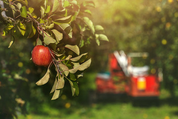 Red Apple on Apple Tree in Orchard with harvester car background on Bright Sunny day